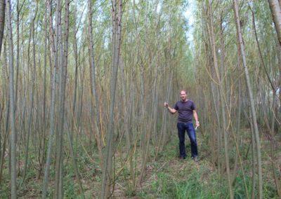 Energiewald aus Weiden